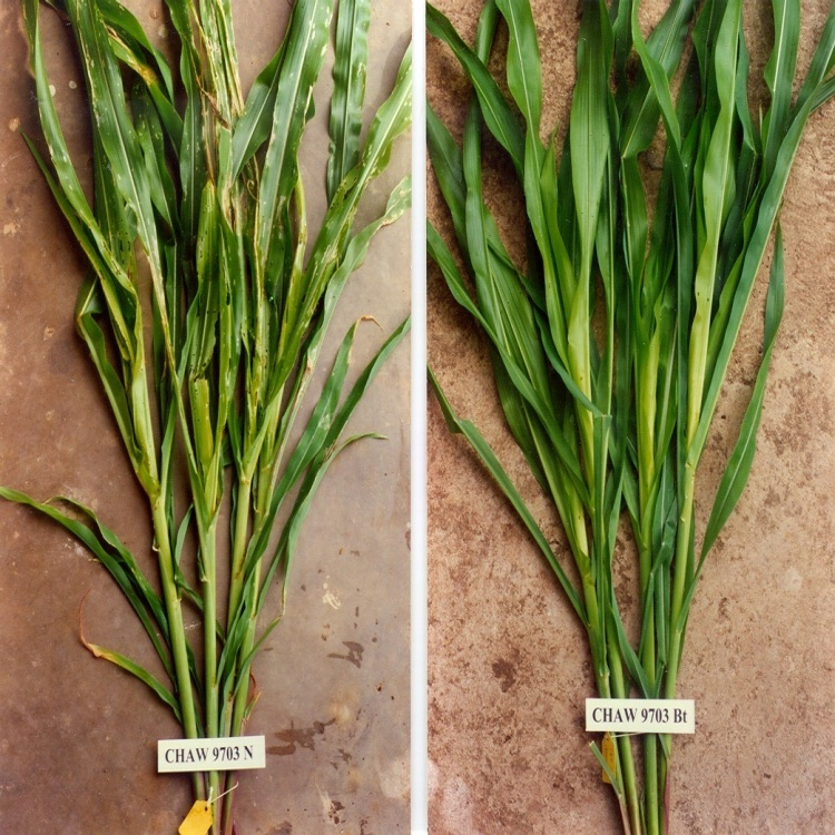 Genetically modified corn leaves are not affected by the pest. The pest problem can be solved by genetic manipulation, as this side-by-side comparison shows. The benefit/risk assessment, however, has to be made by the informed public, as the decision for or against the use of genetically modified crops affects everybody.